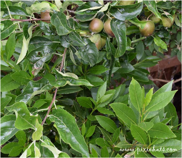 Growing apple s and bay leaf trees