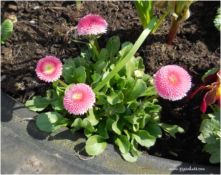 Double pink Bellis daisy flowers - pompom blooms