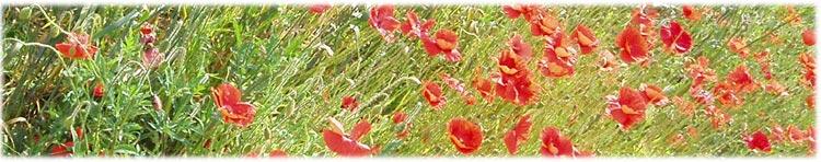 Field of poppy and whetat