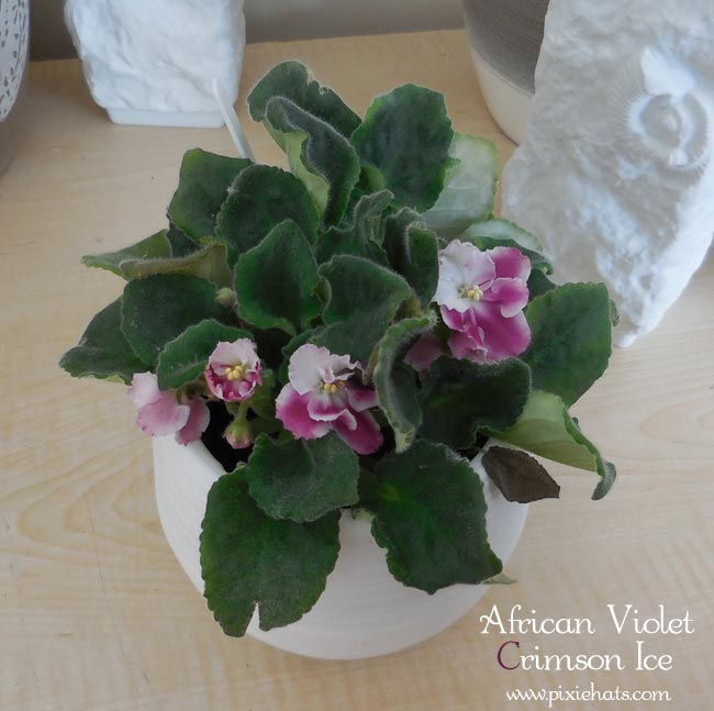 Fully grown african violet plant - Crimson Ice