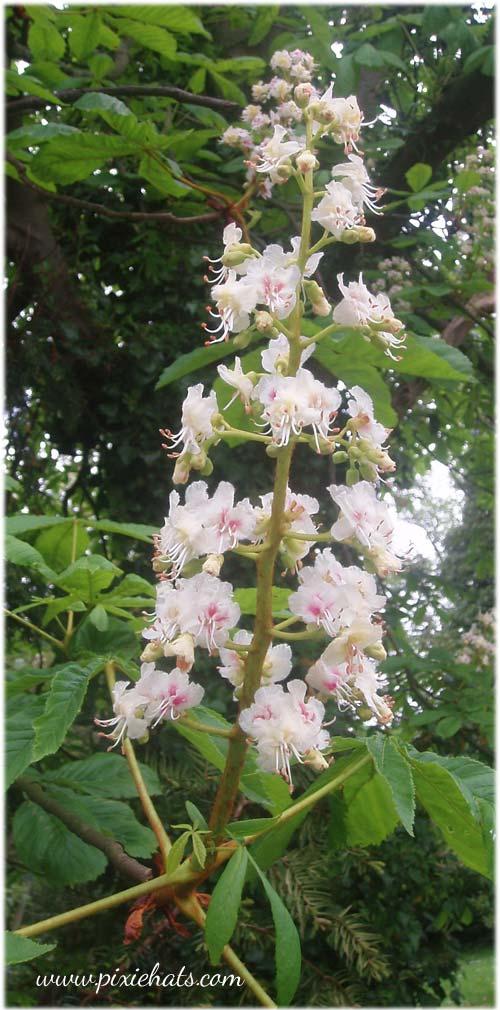 The flower spike of the horse chestnut conker tree